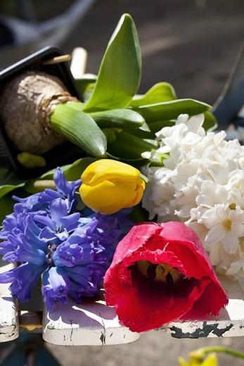 Hyacinth Delft Blue, Hyacinth 'Delft Blue', Dutch Hyacinth, Hyacinthus Orientalis, Common Hyacinth, Spring Bulbs, Spring Flowers, blue hyacinth, blue flower