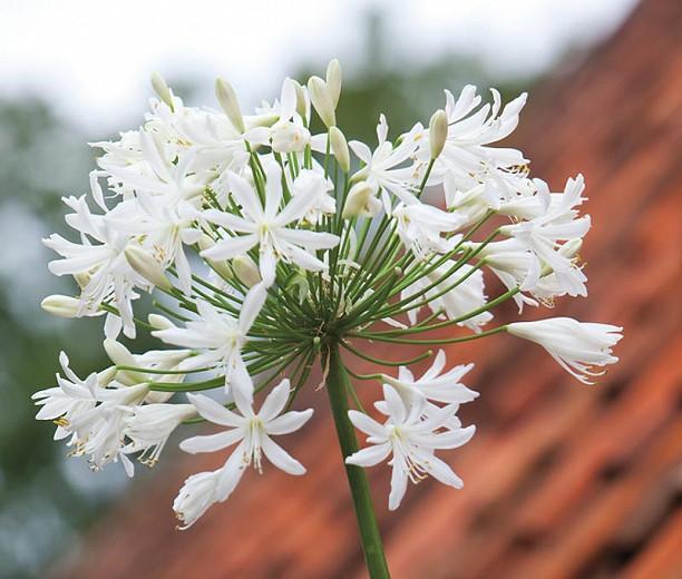 Agapanthus 'Polar Ice', African Lily 'Polar Ice', Lily of the Nile 'Polar Ice', White flower, White Agapanthus, White African Lily