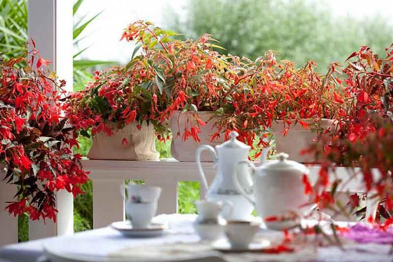 Begonia boliviensis Bonfire, Begonia 'Bonfire', Begonia 'Nzcone', Begonias care, Tuberous begonias, container plants, summer flower bulbs, shade plants, Shade flowers, shade loving plants, shade loving flowers