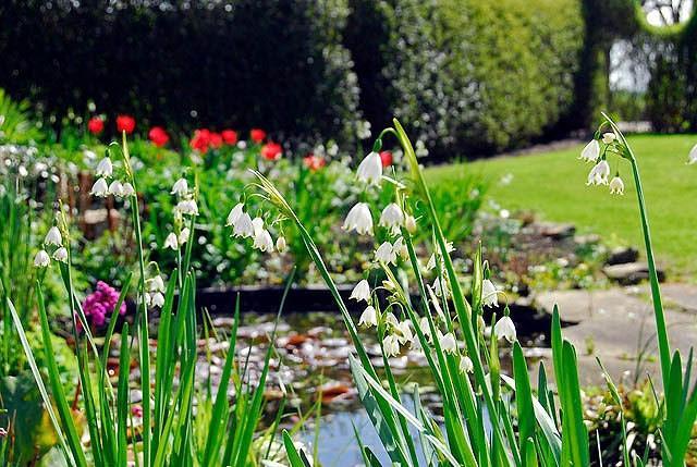Leucojum Aestivum Gravetye Giant, Summer Snowflakes, Leucojum, Gravetye Giant, Spring Bulbs, Mid Spring Bloom, Late Spring Bloom
