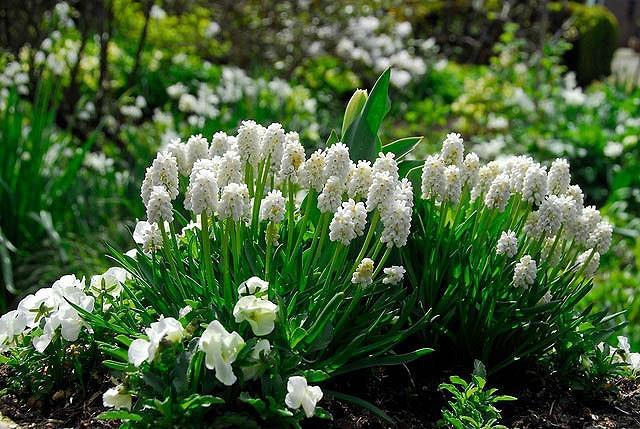 Muscari Azureum Album, Muscari Azureum , Azure Grape Hyacinth 'Album', Pseudomuscari Azureum, Hyacinthus Azureus, Hyacinthella Azurea, Muscari Pseudomuscari, Spring Bulbs, Spring Flowers, white muscari, white flower