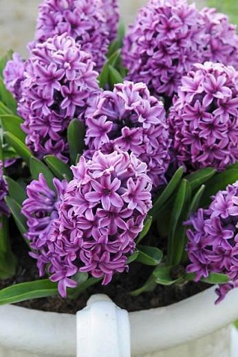 Hyacinthus Orientalis 'Miss Saigon', Hyacinth 'Miss Saigon', Dutch Hyacinth, Hyacinthus Orientalis, Common Hyacinth, Spring Bulbs, Spring Flowers, purple hyacinth, purple flower