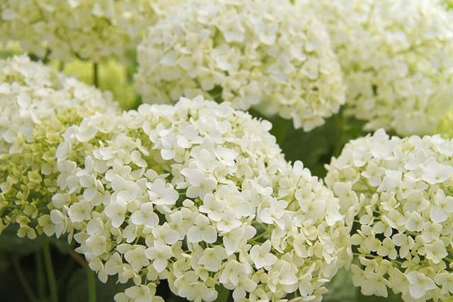 Hydrangea Arborescens Annabelle, Smooth Hydrangea 'Annabelle', Hydrangea 'Annabelle', Hydrangea Incrediball, Hydrangea Grandiflora, White hydrangea, Best hydrangeas