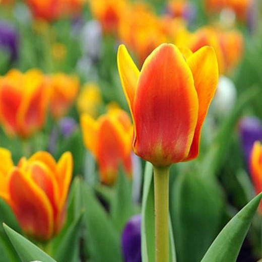 Tulipa Cape Cod,Tulip 'Cape Cod', Greigii Tulip 'Cape Cod', Greigii Tulips, Spring Bulbs, Spring Flowers, Tulipe Cape Cod,Greigii Tulips, Orange Tulips, Tulipes Greigii
