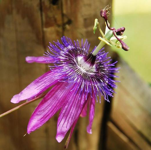 Passiflora 'Amethyst',  Passion Flower 'Amethyst', 'Amethyst' Passion Vine,'Amethyst' Passionflower, 'Amethyst' Passionvine, Lavender Vines, Mediterranean Vines, Purple Flowers, Evergreen Vines