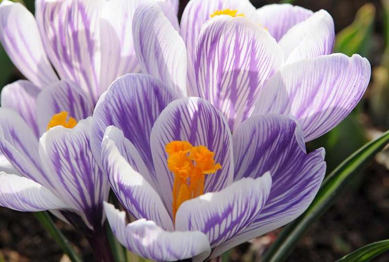 Crocus 'Pickwick', Crocus vernus Pickwick, Dutch crocus Pickwick, Giant Dutch Crocus Pickwick, Spring Bulbs, Spring Flowers, early spring bulb