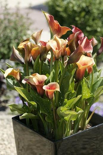 Zantedeschia 'Captain Amigo', Calla Lily 'Captain Amigo' , Arum Lily 'Captain Amigo', Calla Lilies, Arum Lilies, Zantedeschia care, yellow calla lilies, peach calla lilies