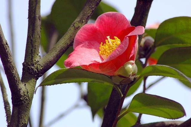 Camellia Japonica 'Korean Fire', Camellia 'Korean Fire','Korean Fire' Camellia, Cold Hardy Camellias, Red flowers, Spring Camellias, Spring Blooming Camellias, Late Season Camellias