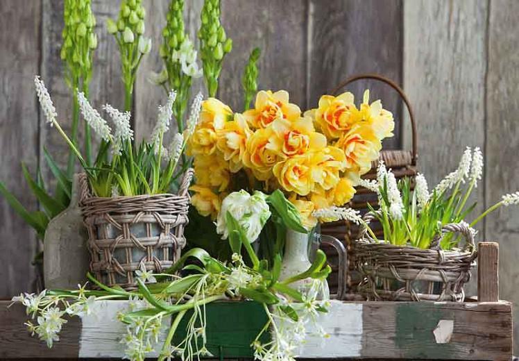 Narcissus Tahiti, Daffodil Tahiti, Narcisse Tahiti, Double Daffodil 'Tahiti', Double Narcissus 'Tahiti', Spring Bulbs, Spring Flowers, Double narcissus, Mid-season Daffodil, Mid Spring Daffodil, Mid Spring Narcissus, Yellow Daffodil