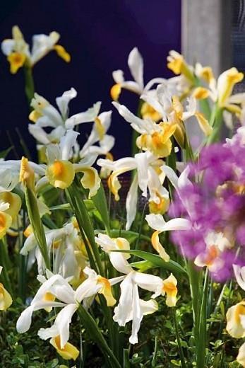 Iris Hollandica, Dutch Iris, Mid spring blooms, Late spring blooms, Iris Apollo, White Iris