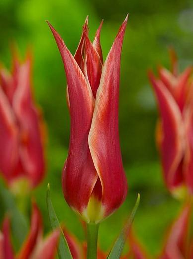Tulipa Aladdin, Tulip 'Aladdin', Lily-Flowered Tulip 'Aladdin', Lily-Flowering Tulip 'Aladdin', Lily-Flowered Tulips, Spring Bulbs, Spring Flowers,Tulipe Aladdin,Tulip Aladin,Lily Flowered Tulip, Red tulip, mid late season tulip, mid late spring tulip