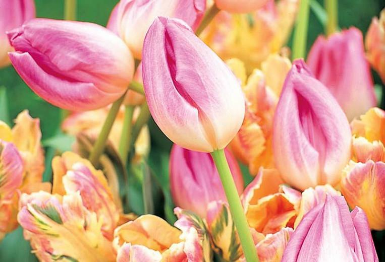 Tulipa Upstar,Tulip 'Upstar', Double Late Tulip 'Upstar', Double Late Tulips, Spring Bulbs, Spring Flowers,Tulipe Upstar, Pink Tulips, Tulipes Doubles Tardives
