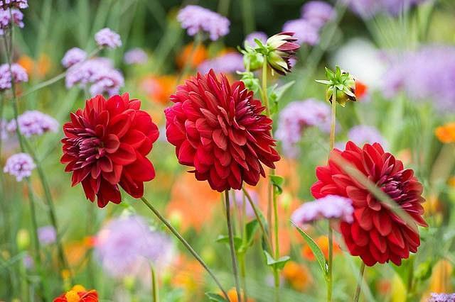 Dahlia Arabian Night, 'Arabian Night' Dahlia, Decorative Dahlias , AGM Dahlia, Black Dahlias, Dahlia Tubers, Dahlia Bulbs, Dahlia Flower, Dahlia Flowers, summer bulbs