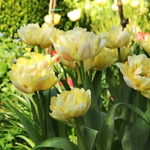 Tulipa ''Verona',Tulip 'Verona', Double Early Tulip 'Verona', Double Early Tulips, Spring Bulbs, Spring Flowers,Tulipe Verona, Double White Tulip, White Tulip, Double Yellow Tulip, Yellow Tulip