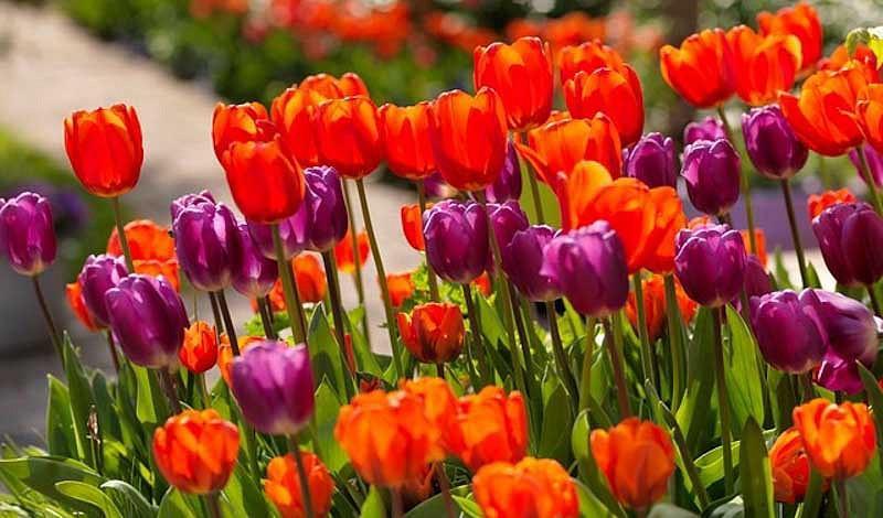 Tulipa Cassini,Tulip 'Cassini', Triumph Tulip 'Cassini', Triumph Tulips, Spring Bulbs, Spring Flowers, Tulipe Cassini,Red Tulips, Tulipes Triomphe, Mid late spring tulips