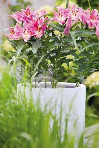 Lilium 'Entertainer', Lily 'Entertainer', Oriental Lily 'Entertainer', Oriental Lilies, Pink Lilies, Fragrant lilies, Bicolor Lilies, Lily flower, Lily Flower
