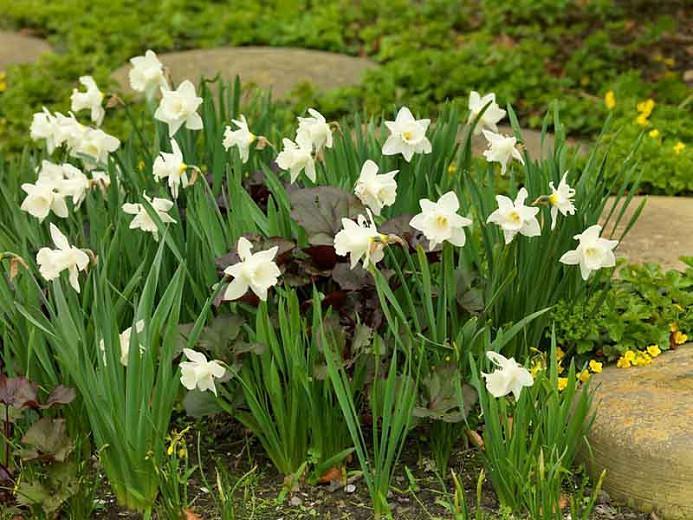 Narcissus Mount Hood Trumpet Daffodil