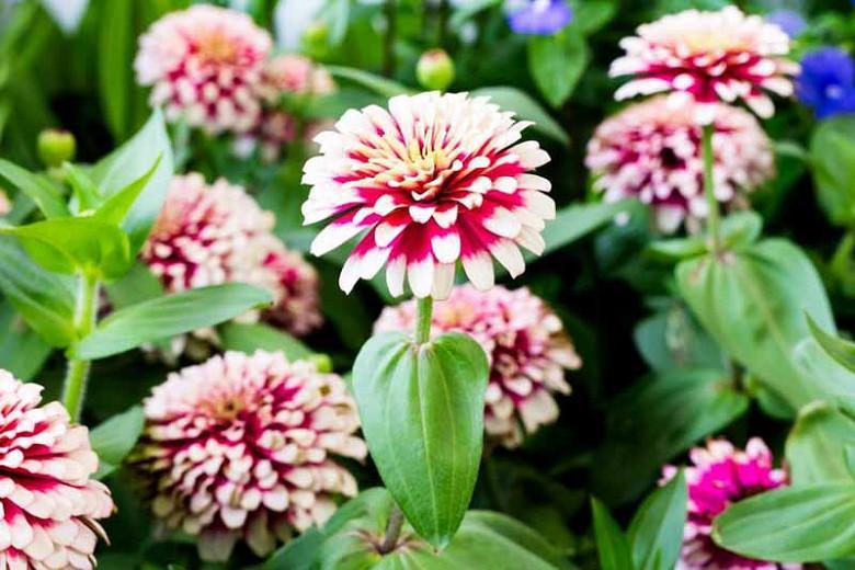 Zinnia 'Mazurkia', Zinnia Elegans 'Mazurkia', Mazurkia Zinnia, Bicolor Zinnia, Bicolor Flowers, Red Zinnia, Red Flowers
