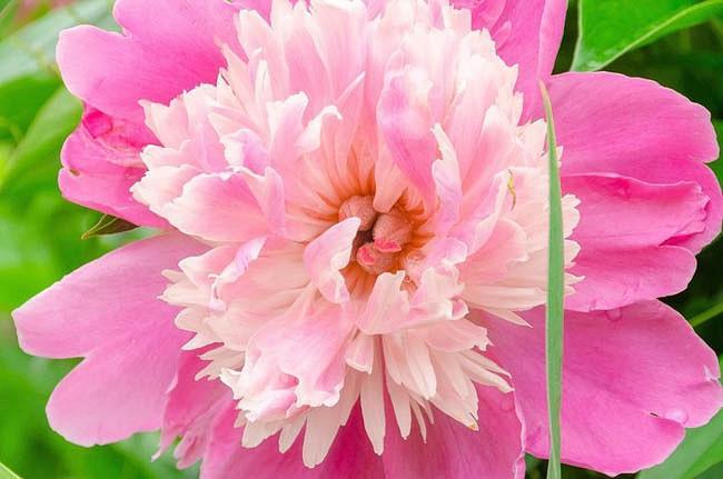 Paeonia Lactiflora 'Philomele', Peony 'Philomele', 'Philomele' Peony, Chinese Peony 'Philomele', Common Garden Peony 'Philomele', Pink Peonies, Pink Flowers, Fragrant Peonies