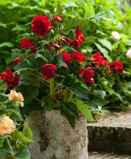 Begonia 'Fimbriata Ruffled Red', Fimbriata Ruffled Red Begonia, Red Tuberous Begonias,  Tuberous Begonias, Carnation Begonias, Ruffled Begonias,  shade loving plants, summer flower bulbs, shade plants, Shade flowers