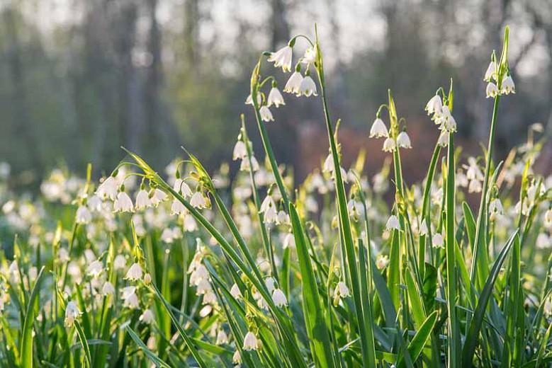Leucojum Aestivum, Summer Snowflakes, Leucojum, 'Gravetye Giant', Spring Bulbs, Mid Spring Bloom, Late Spring Bloom