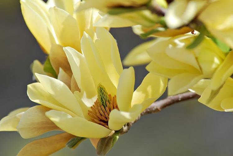 Magnolia 'Butterflies', Butterflies Magnolia, Yellow magnolia, Winter flowers, Spring flowers, yellow flowers, fragrant trees, fragrant flowers