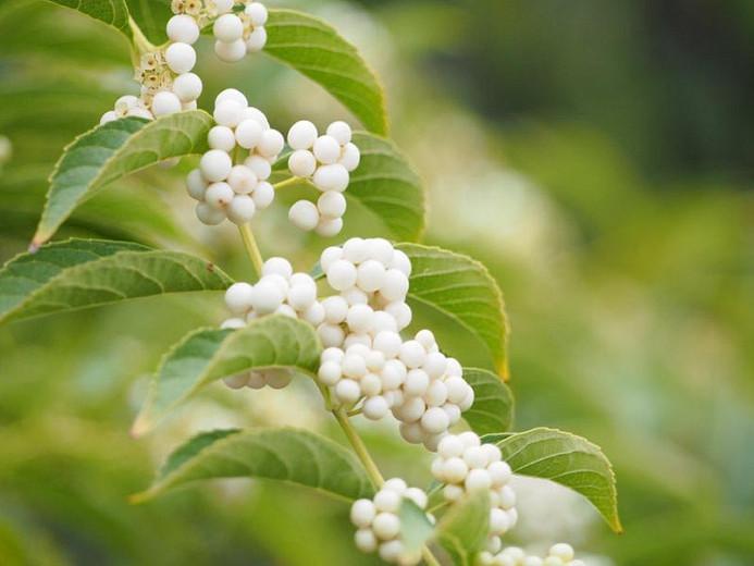 Callicarpa Dichotoma f. albifructa, White Beautyberry, Beautyberry f. albifructa, Shrub, White Berries, White Fruits, Flowering Shrubs
