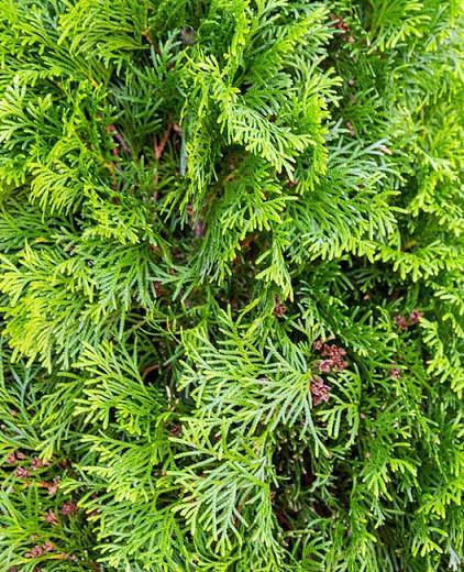Thuja Occidentalis 'Degroot's Spire', American Arborvitae, Degroot's Spire Arborvitae, Evergreen Shrub, Evergreen Tree, Fragrant Shrub, Fragrant Tree