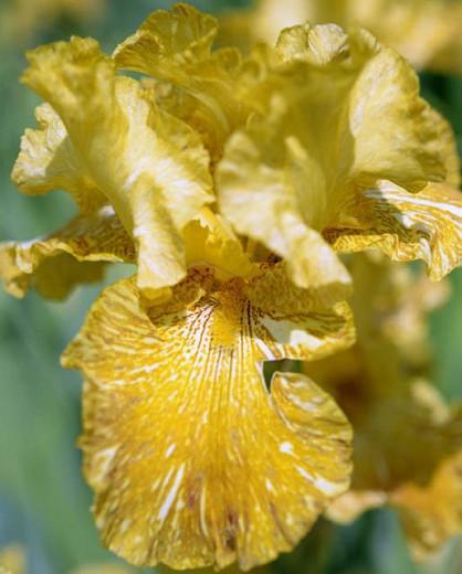Iris 'Tiger Honey', Tall Bearded Iris 'Tiger Honey', Iris Germanica 'Tiger Honey', Early Midseason Irises, Yellow irises, Award Irises, Bicolor Irises, Golden Irises