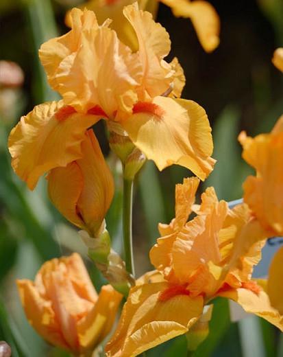 Iris Maid Of Orange, Bearded iris Maid Of Orange, Iris Germanica Maid Of Orange, Orange irises, Award Irises, Early Irises