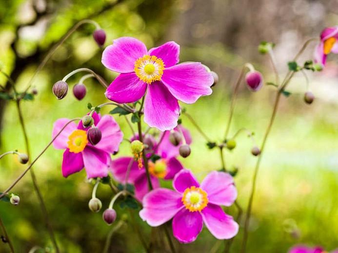 Anemone Hadspen Abundance, Anemone hupehensis Hadspen Abundance, Japanese Anemone Hadspen Abundance, Windflower Hadspen Abundance, Late summer perennial, Pink Anemone