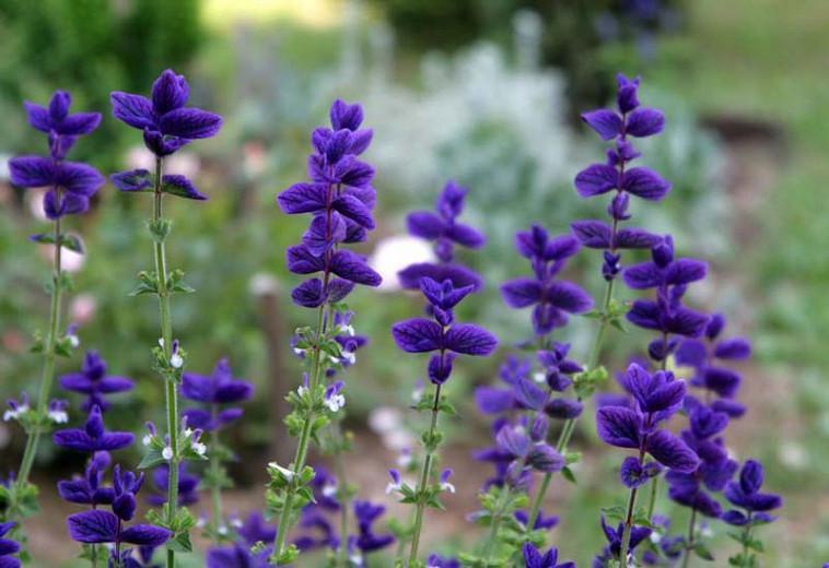 Salvia Horminum 'Blue', Annual Sage 'Blue', Salvia Viridis 'Blue', Annual Clary 'Blue', Blue Sage, Blue Salvia