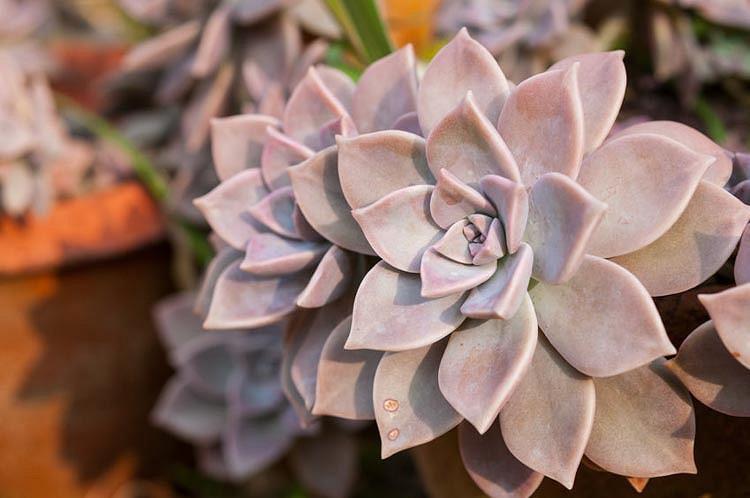 Echeveria lilacina,'Ghost Echeveria,  Pink echeveria, gray echeveria, pink succulent, gray succulent
