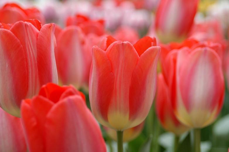 Tulipa 'Big Chief', Tulip ''Big Chief', Darwin Hybrid Tulip ''Big Chief', Darwin Hybrid Tulips, Spring Bulbs, Spring Flowers, Red Tulip