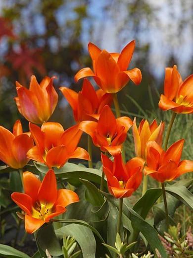 Tulipa Toronto,Tulip 'Toronto', Greigii Tulip 'Toronto', Greigii Tulips, Spring Bulbs, Spring Flowers, Tulipe Toronto, orange tulips