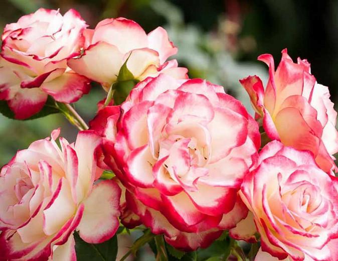 Rosa 'Double Delight', Rose 'Double Delight', Rosa 'Andeli', Hybrid Tea Roses, Shrub Roses, bicolor roses, Pink roses, Yellow roses, Shrub roses, Rose bush