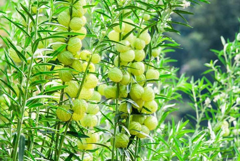 Asclepias physocarpus, Balloon Plant, Balloon Cotton-Bush, Bishop's Balls, Nailhead, Swan Plant, Gomphocarpus physocarpus