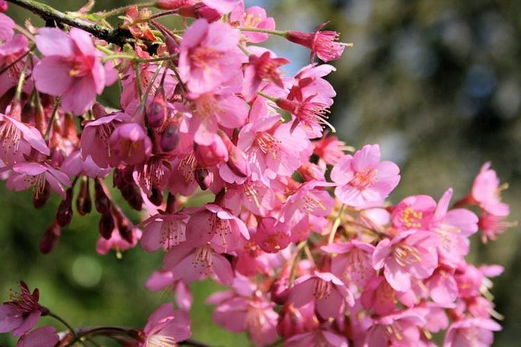 Prunus 'Kursar',Flowering Cherry 'Kursar', Cherry 'Kursar', Pink flowers, Spring Flowers, Pink cherry blossoms, Japanese cherry, Flowering cherry tree, Blossom Tree, Cherry blossom tree, Ornamental Cherries
