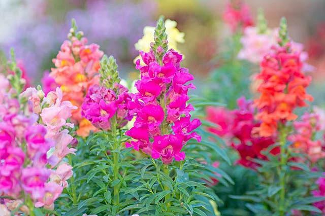 Antirrhinum Majus, Snapdragon, Bedding plants, Tender perennial, snapdragon Sonnet, Snapdragon Liberty