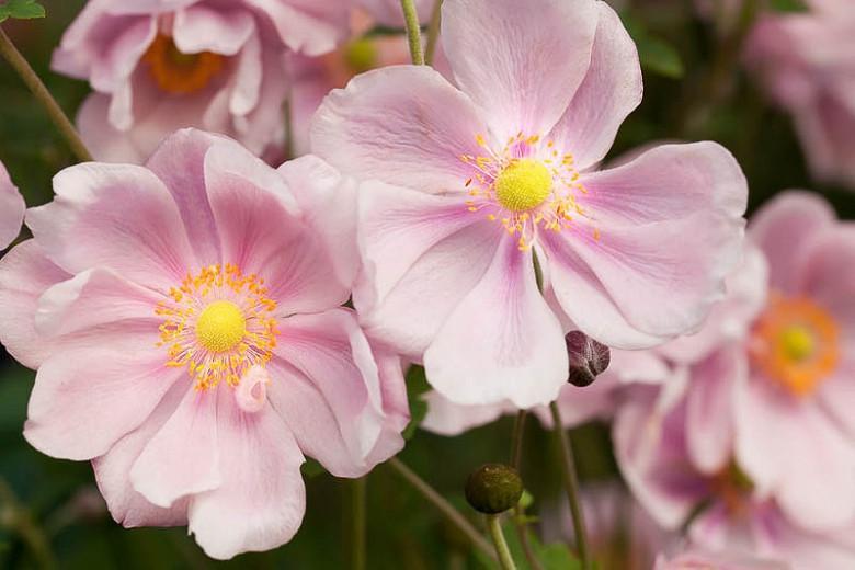 Anemone Elegans, Anemone x Hybrida 'Elegans', Japanese Anemone 'Elegans', Windflower 'Elegans', Late summer perennial, Pink Anemone, Anemone x hybrida 'Albert Schweitzer', Anemone x hybrida 'Max Vogel'