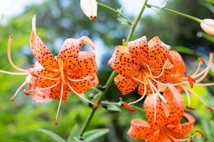 Lilium Lancifolium, Lilium Tigrinum,  Lilium Tigrinum Var splendens, Lilium Tigrinium Flore Pleno, Species Group, Summer flowering Bulb, mid summer flowering lilies