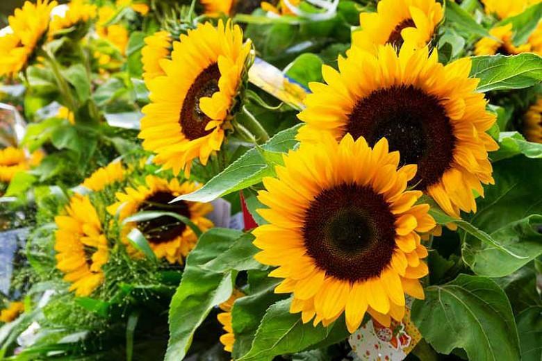 Helianthus annuus Taiyo, Common Sunflower Taiyo, Comb Flower Taiyo, Golden Flower of Peru Taiyo, St Bartholomew's Taiyo, Yellow Flowers, Yellow Annuals