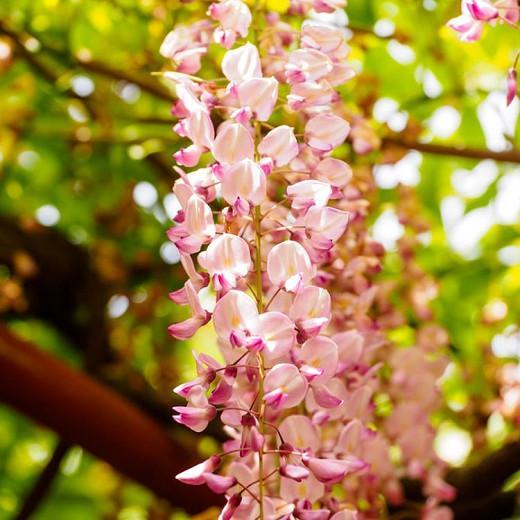 Wisteria Brachybotrys 'Showa-Beni',Wisteria 'Showa-Beni', Pink Wisteria,Fragrant Vines, Silky Wisteria, Pink Flowers