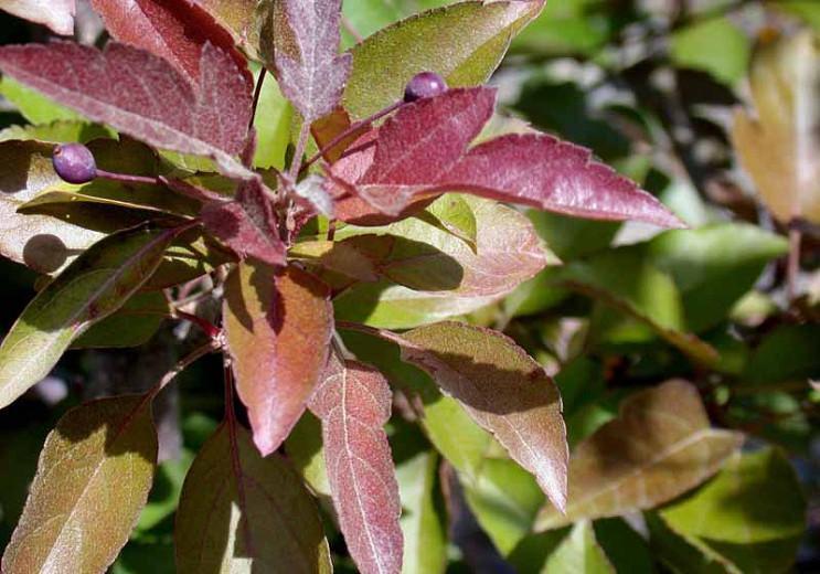 Malus 'Ruby Tears', Crabapple 'Ruby Tears', Crab Apple 'Ruby Tears', Fragrant Tree, Red fruit, red berries, Winter fruits, Pink flowers,Malus 'Bailears'