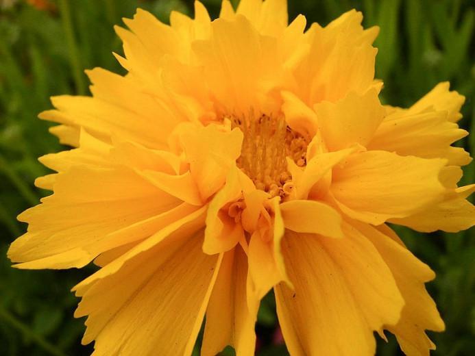 Coreopsis Grandiflora 'Early Sunrise', Coreopsis Early Sunrise, Tickseed Early Sunrise, Drought tolerant plants, dry soil plants, heat tolerant plants, humidity tolerant plants, yellow flowers
