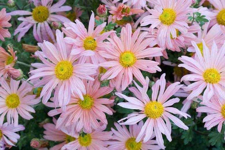 Chrysanthemum 'Clara Curtis', Garden Mum 'Clara Curtis', Florist's Mum 'Clara Curtis', Hardy Garden Mum Clara Curtis, Dendranthema Clara Curtis, Pink Chrysanthemum, Fall Flowers