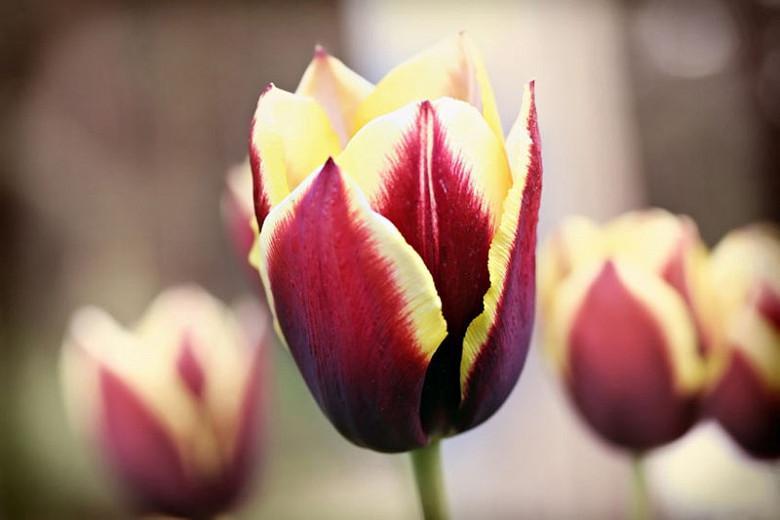 Tulipa Gavota,Tulip 'Gavota', Triumph Tulip 'Gavota', Triumph Tulips, Spring Bulbs, Spring Flowers, Tulipe White Gavota, Bicolor Tulips, Tulipes Triomphe, Mid spring tulips