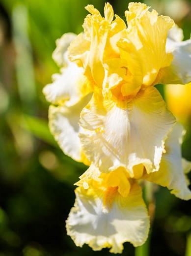 Iris 'Fringe of Gold', Tall Bearded Iris 'Fringe of Gold', Iris Germanica 'Fringe of Gold', Late Season Irises, White Irises, Yellow Irises, Bicolor Irises