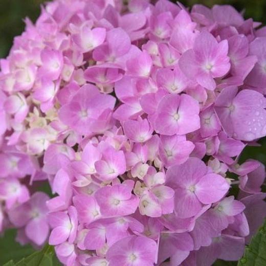 Hydrangea Macrophylla 'Endless Summer', Hydrangea Macrophylla 'Bailmer', Bigleaf Hydrangea Endless Summer, Mophead Hydrangea Endless Summer