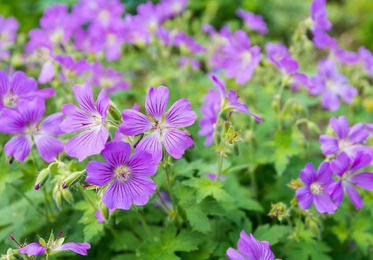 Geranium sylvaticum, Wood Cranesbill, Bassinet, King's Hood, Wood Geranium, Hardy Geraniums, Best geraniums, Best groundcovers, Blue geranium, Purple Geranium